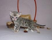 Бенгальские котята от титулованного кота