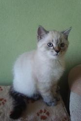 Голубоглазые скоттиш-страйт котята