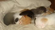 отдам в добрые руки милых котят. 3 недели. мальчики