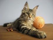Котята мейн-кун из профессионального питомника