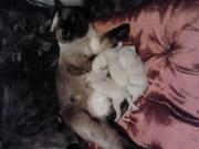 Сиамские котята,  продаю срочно!