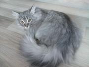 Шиншилла - красавец!!!