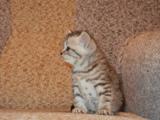 Британские плюшевые, крупные котята окраса вискас