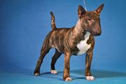 Продается перспективный щенок минибультерьера.