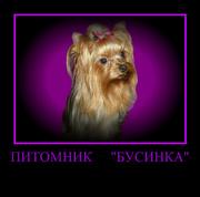 йоркширский терьер щенки, кобели для вязки