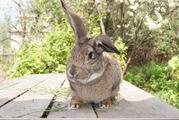 Кролики крупных пород большой выбор