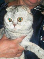 вислоухий кот скоттиш фолд ждет невесту