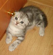 Продаю красивых британских котят