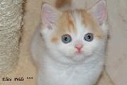 Продажа котят от питомника Elite Pride