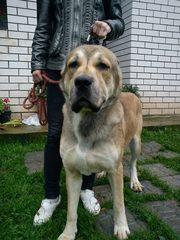 Продам  хорошеньких щенков алабая в Нижнем Новгороде