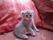 Продадим в хорошие руки 4 красивых шотландских котят (мальчиков)