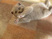 ПРОДАЮ британского плюшевого котенка
