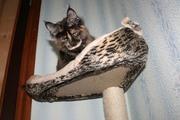 Шикарные котята мейн-куны. Доставка