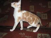 котята корниши