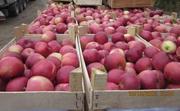 Яблоко от производителя,  сезон 10 000 тонн