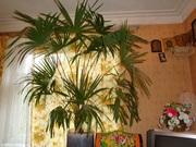 Пальма в Нижнем Новгороде