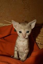 Продажа котят породы корниш-рекс