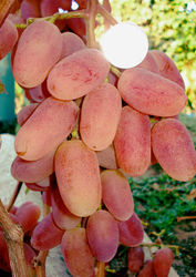 черенки и саженцы винограда