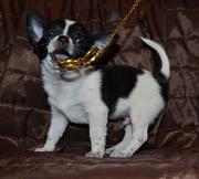 Продажа щенка Чихуахуа