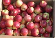 Яблоки с доставкой по РФ,  большой выбор,  низкие цены.