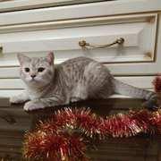 Продается шотландский прямоухий котик,  г. Валдай