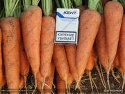 Морковь столовая